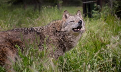 Θεσσαλονίκη: Βρήκαν λύκο σφηνωμένο στην πόρτα τους (pics)