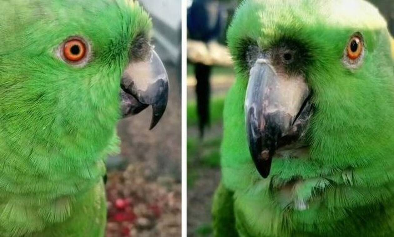 Παπαγάλος-χαβαλές ξεκαρδίζεται λες κι είναι υστερική γυναίκα! (vid)