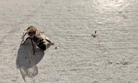 Πώς η καταστροφή των μελισσών συνδέεται με εκείνη της ανθρωπότητας