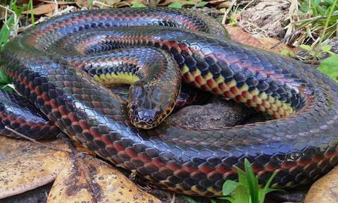 Απίστευτο: Φίδι - «ουράνιο τόξο» εμφανίστηκε μετά από 50 χρόνια