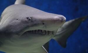 Απίστευτο: Λευκός καρχαρίας επιτέθηκε σε σέρφερ - Σώθηκε επειδή τον άρχισε στο... βρίσιμο!