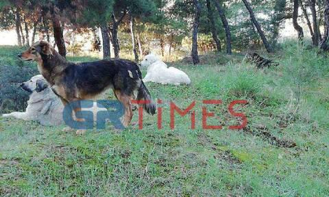 Σοκ στη Θεσσαλονίκη: Αγέλη αδέσποτων σκύλων «τρομοκρατεί» μαθητές - Καταγράφηκε ακόμη ένα θύμα