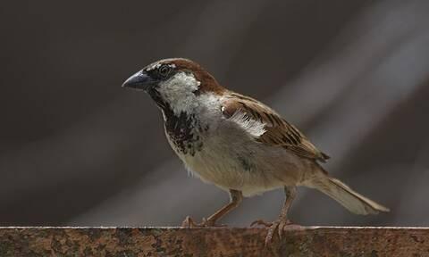 Το ναζιάρικο πουλί από την Εύβοια - Δείτε τι κάνει