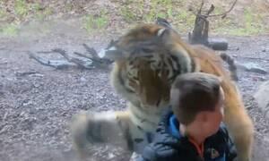 Λυσσασμένη τίγρη ορμάει σε ανυποψίαστο παιδάκι