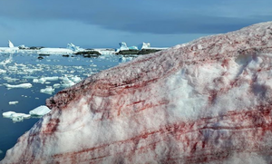 Το χιόνι βάφτηκε... «κόκκινο» - Ανατριχιαστικές εικόνες
