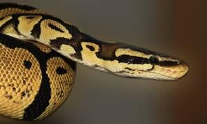 Ανατριχιαστικό: Δείτε το «λάθος» γεύμα που έφαγε το φίδι (video)