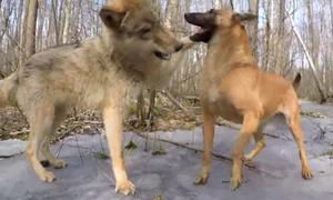 Σκύλος συναντάει λύκο στο δάσος και η συνέχεια είναι… καταπληκτική!