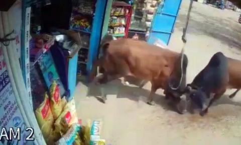 Δύο ταύροι αποφασίζουν να λύσουν τις διαφορές τους έξω από μαγαζί και το κάνουν καλοκαιρινό... (vid)