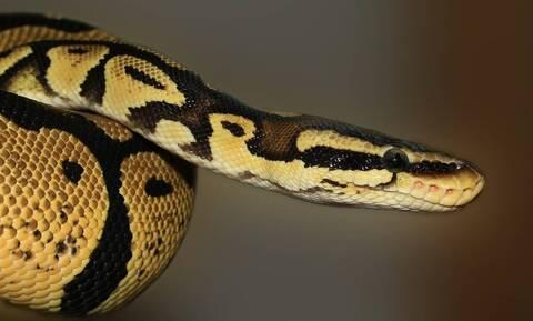 Απίστευτο! Αγόρι είδε φίδι στον αχυρώνα - Σοκάρει ο τρόπος που το πιάνει! (video)