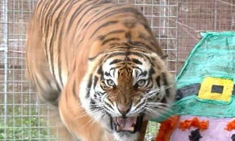 Εξαγριωμένη τίγρη ορμάει σε βανάκι με τουρίστες! (video)