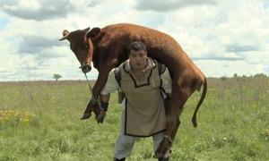 Aγρότης σηκώνει αγελάδα 350 κιλών στους ώμους! (vid)
