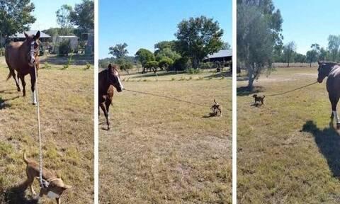 Απίστευτο βίντεο: Σκυλάκος βγάζει «βόλτα» ένα άλογο!
