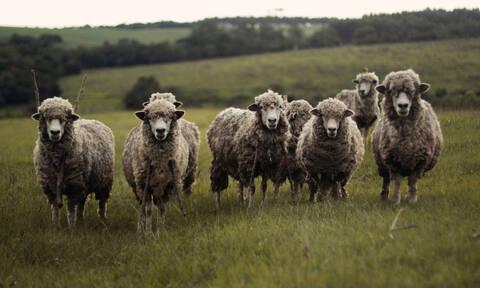 Απίστευτο! Έσφαξαν 180 πρόβατα για να… ξορκίσουν τον κορονοϊό (Σκληρές εικόνες)
