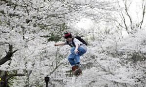 Οι κερασιές άνθισαν και οι εικόνες από την Ιαπωνία μας γεμίζουν ελπίδα...