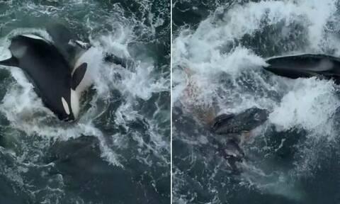 Βίντεο: Φάλαινες-δολοφόνοι κατασπαράζουν φάλαινα μαζί με το μικρό της!