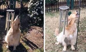 Σκυλάκος ακούει καμπάνες και τρελαίνεται εντελώς! (vid)