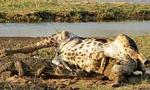 Σκληρές εικόνες: Κροκόδειλος κατασπαράζει καμηλοπάρδαλη! (vid)