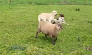 Αυτό είναι το πρόβατο που «τρελαίνει» κόσμο στο διαδίκτυο! Ζει σαν... τσοπανόσκυλο (Video)