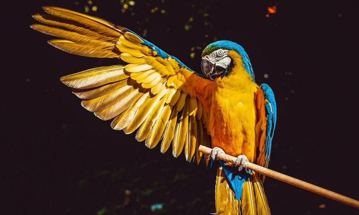 Απίστευτο: Παπαγάλος ξεκαρδίζεται με τον ιδιοκτήτη του που κάνει γυμναστική σε καραντίνα (video)