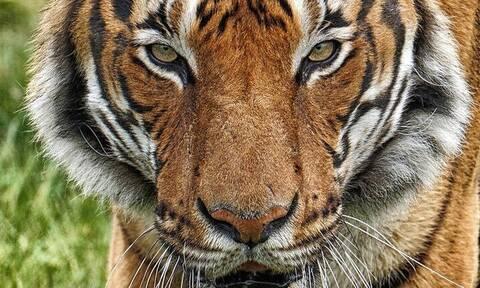 Κορωνοϊός: Η Νάντια, η πρώτη τίγρη που νοσεί από τον ιό