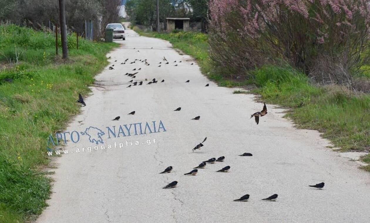 Άργος: Γέμισε ο δρόμος νεκρά χελιδόνια