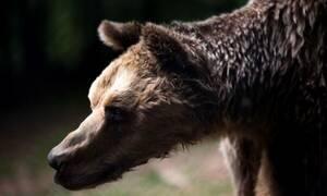 Κορονοϊός: Γιατί βγήκαν οι αρκούδες στην Καστοριά; (pics & vid)