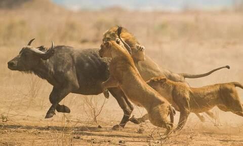 Βίντεο: Λιοντάρια κατασπαράζουν ζωντανό ένα βουβάλι!