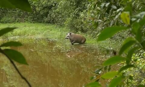 Γεννήθηκε τάπιρος σε δάσος της Βραζιλίας, απ' όπου είχαν εξαφανιστεί το 1914... (video)