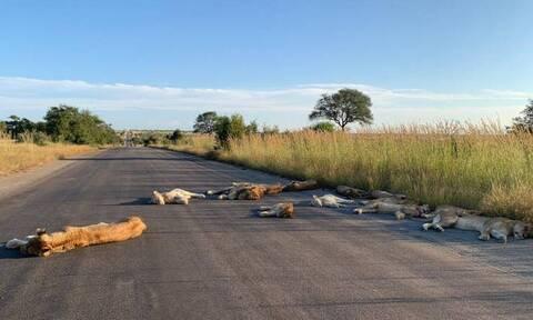 Τα λιοντάρια στη Νότια Αφρική χαίρονται την «ελευθερία» τους από τον άνθρωπο