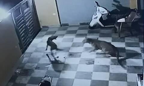 Τρομερή μάχη! Λεοπάρδαλη επιτέθηκε σε σκύλο σε αυλή σπιτιού - Ανατροπή με τον νικητή (vid)