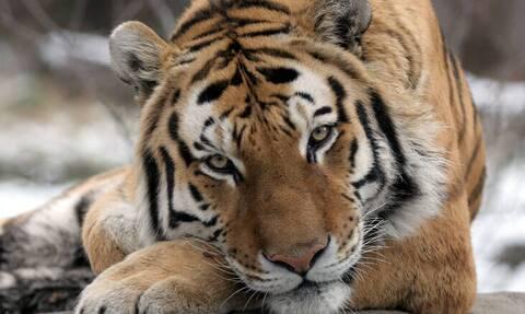 Κορονοϊός: Θετικά στον ιό ακόμη επτά αιλουροειδή στον ζωολογικό κήπο του Μπρονξ