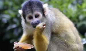 Μαϊμού ανέβηκε σε ταράτσα και έκανε κάτι τρελό - Το βίντεο που έγινε viral (vid)