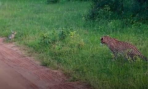 Λεοπάρδαλη «ακινητοποιεί» λαγό με τα μάτια... Προσέξτε καλά ποιος θα είναι ο νικητής... (vid)