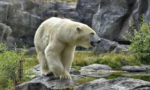 Πολική αρκούδα ήταν στεναχωρημένη ελέω καραντίνας - Δεν φαντάζεστε πώς έγινε ξανά χαρούμενη (vid)