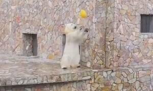 Επισκέπτες ζωολογικού πάρκου πετάνε μπάλα σε αρκούδα! Θα τρελαθείτε όταν δείτε τι τους έκανε (vid)