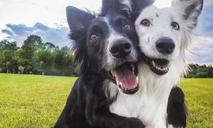 Δύο σκύλοι-φιλαράκια συναντιούνται μετά την καραντίνα και γίνεται χαμός!