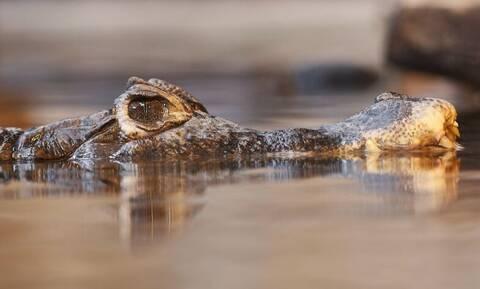 Φρίκη: Την κατασπάραξε αλιγάτορας μπροστά στον άντρα της! (pics)
