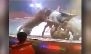 Τρόμος σε τσίρκο: Λιοντάρια κατασπαράζουν ανήμπορο άλογο