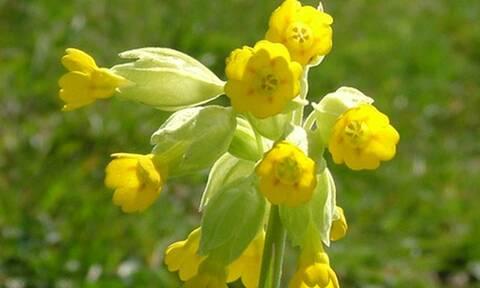 «Το λουλούδι του Δαρβίνου»: Πόσο κοστίζει το... περιβόητο φυτό;