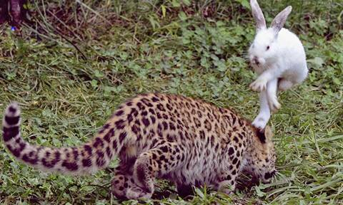 Λεοπάρδαλη κάνει ντου σε λαγό και ξαφνικά…