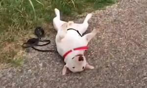 Ο πιο τεμπέλης σκύλος σε ολόκληρο το σύμπαν! (vid)