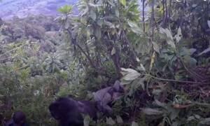 Απίστευτο βίντεο: Γορίλας πατάει πάνω στα σώματα τουριστών!