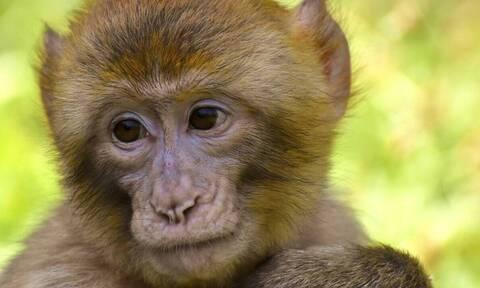 Απίστευτο: Μαϊμού με ποδήλατο προσπάθησε να «απαγάγει» κοριτσάκι (video)