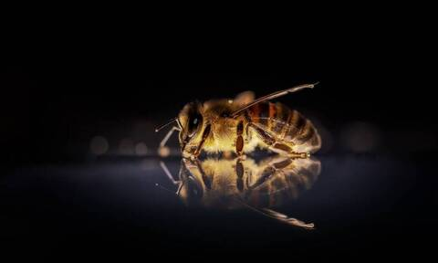 Απίστευτο βίντεο: Μέλισσες συνεργάζονται και «ψήνουν» σφήκα-δολοφόνο