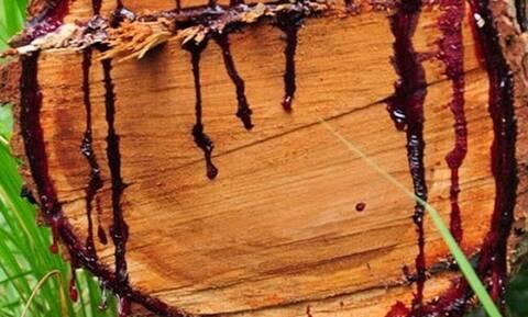 Αυτό το δέντρο βγάζει αίμα άμα το κόψεις!