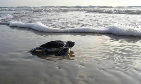 Φοβερό βίντεο: Χιλιάδες θαλάσσια χελωνάκια ξεκινούν το ταξίδι της ζωής (video)