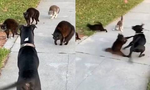 Τρομερό γέλιο! Μεγάλη «μάχη» ενός σκύλου με αδέσποτες γάτες (vid)