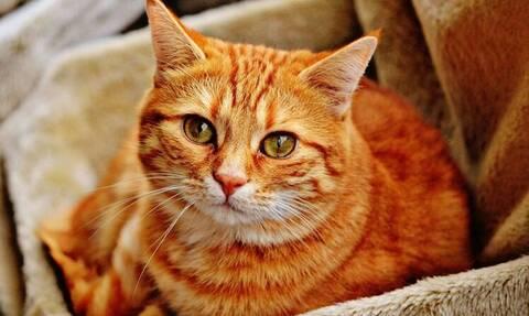 Κορονοϊός: Οι γάτες μπορούν να μολυνθούν από τον ιό και να τον μεταδώσουν σε άλλες γάτες