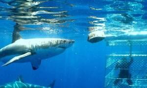 Τρόμος: Καρχαρίας μπαίνει μέσα στο κλουβί του δύτη! (video)