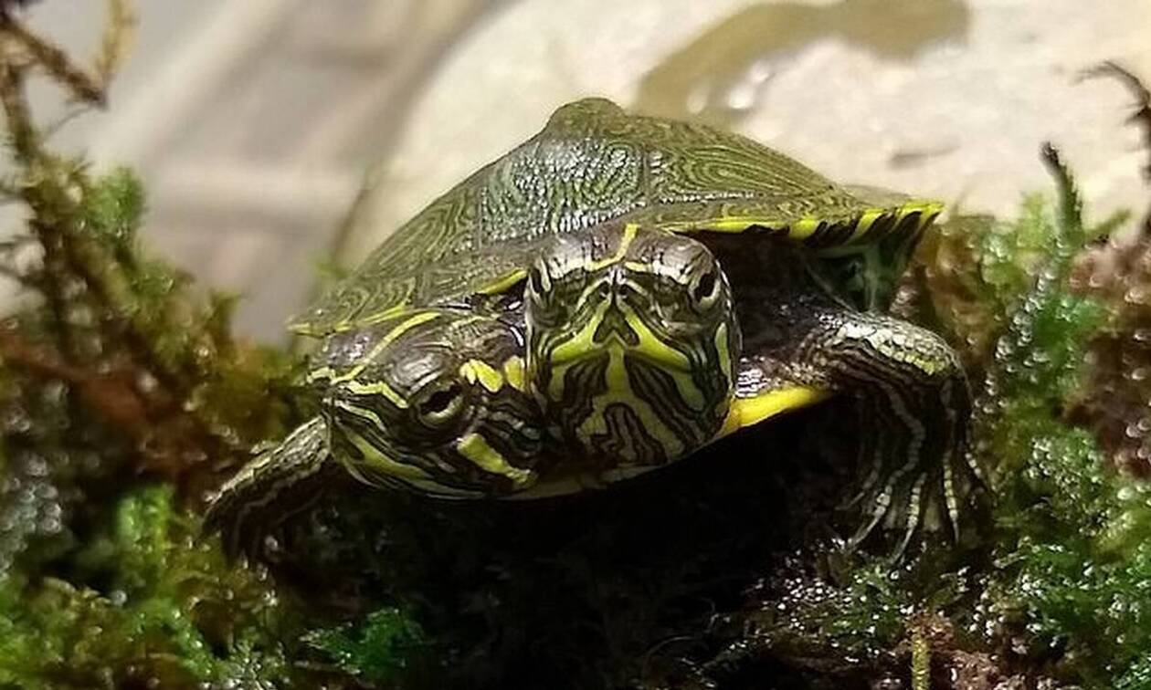 Απίστευτο - Ανακαλύφθηκε χελωνίτσα με δύο κεφάλια και κινδυνεύει (pics+vid)